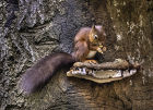 Red Squirrel  #11